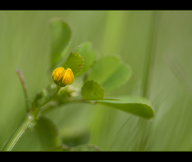 Dreamy Bird's Foot Trefoil (1 more pic below)