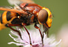 Hornet Mimic