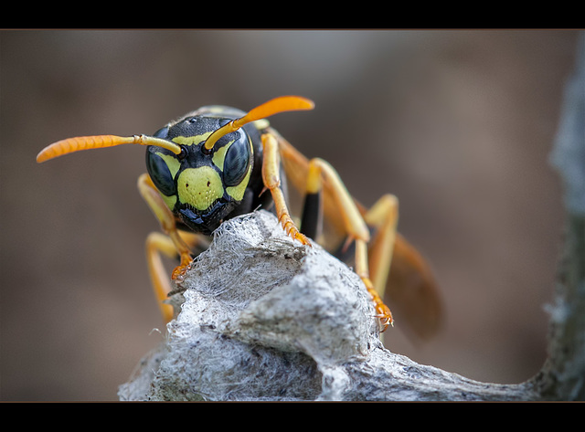 """108/365: """"Anger is as a stone cast into a wasp's nest."""" ~ Malabar Proverb"""
