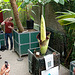 A visit to the Botanical Gardens of Leiden University: Amorphophallus Titanum