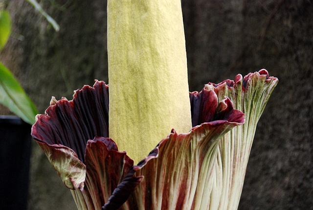 A visit to the Botanical Garden of Leiden University: Amorphophallus Titanum