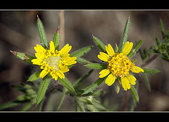 Fitch's Spikeweed: The 129th Flower of Spring & Summer! (3 more pix below!)
