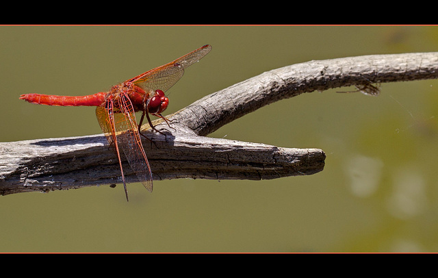 Male Cardinal Meadowawk Dragonfly!