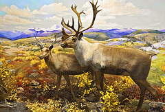 Caribou Diorama – Carnegie Museum of Natural History, Pittsburgh, Pennsylvania