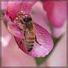 Precious Honey Bee on Apple Blossom