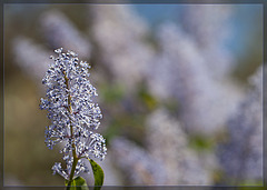 Wild Lilac: The 124th Flower of Spring & Summer! (2 more pix belos)