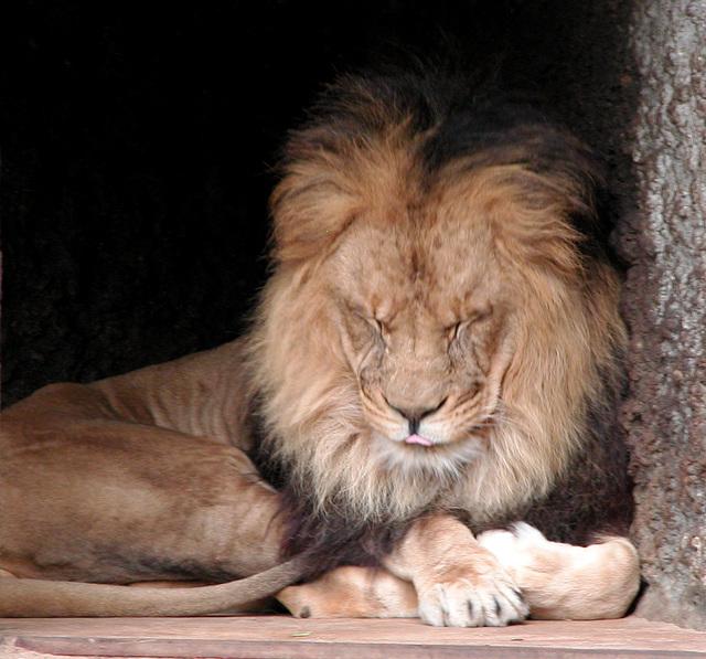 A visit to Artis (Amsterdam zoo): lion
