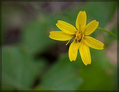 7-Petal Yellow Hawkweed: The 127th Flower of Spring & Summer!
