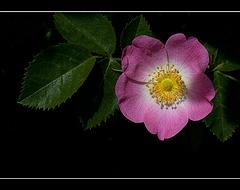 Wood Rose: The 121st Flower of Spring & Summer!