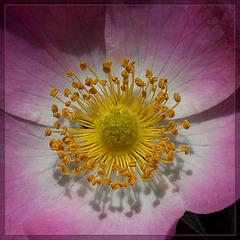 Wood Rose Close-Up