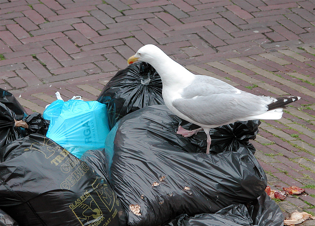 Sea-gull looking for food on the weekly market in Leiden