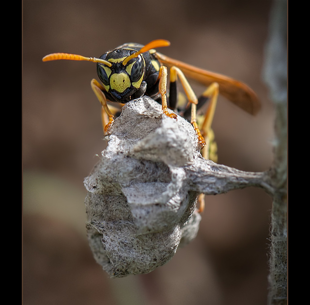 Paper Wasp Guarding Her Nest (2 more pics below)