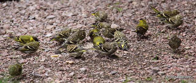 Seventeen Siskins having their Sunday lunch - or is it 18?