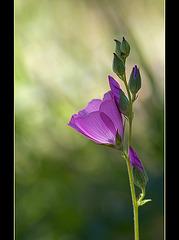 Dwarf Checkerbloom: The 122th Flower of Spring & Summer!