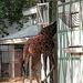 A visit to Artis (Amsterdam zoo): giraffe
