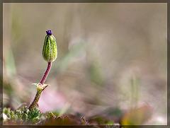 Redstem Storksbill: The Seventh Flower of Spring!