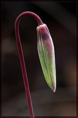 Henderson's Fawn Lily: The 12th Flower of Spring!