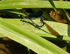 Beautiful Demoiselle Mating Pair