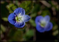 Birdseye Speedwell: The 10th Flower of Spring!