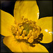 Western Buttercup, the 4th Flower of Spring and Summer!