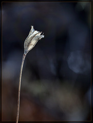 Just an Empty Seed Pod