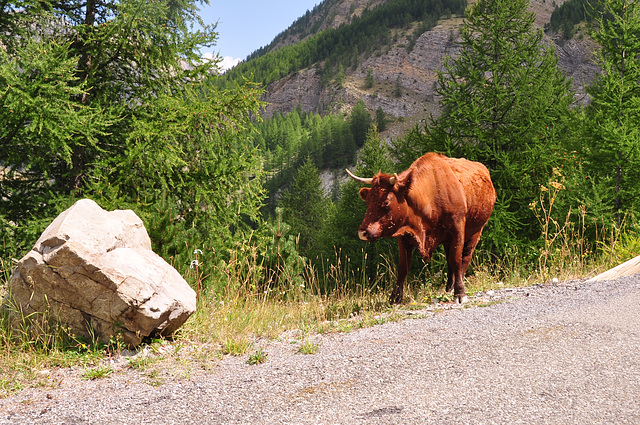 Holiday 2009 – Cow on the road