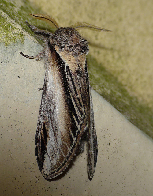 Swallow Prominent -Side