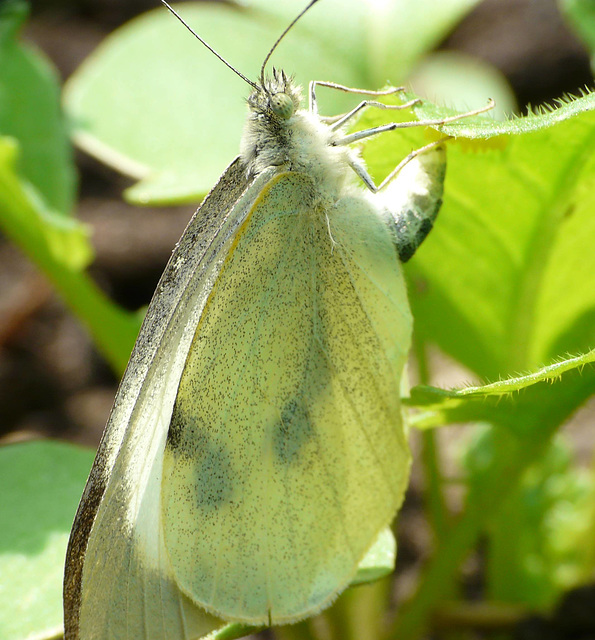 Large White Butterfly -Female