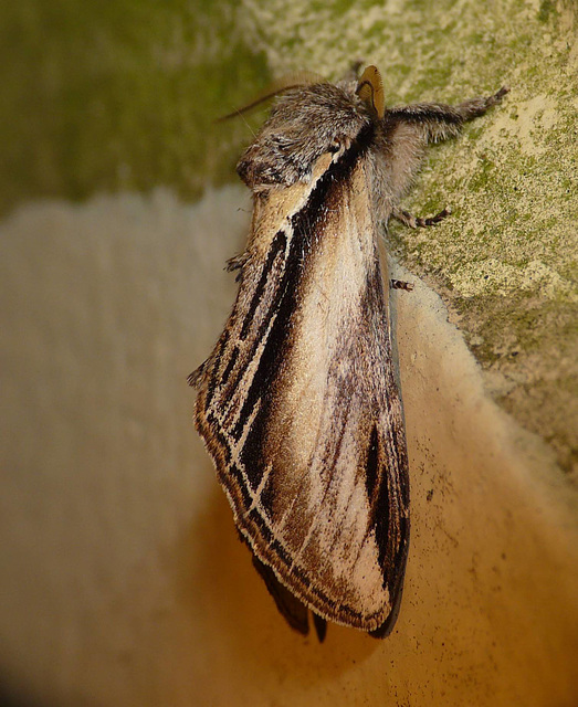 Swallow Prominent -Side 2