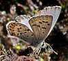Western-tailed Blue Butterfly (plebejus)