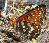 Checkerspot Butterfly Drinking Water