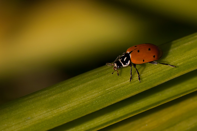 Lovely Ladybug on a Walk