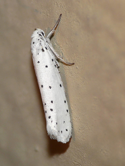 Spindle Ermine