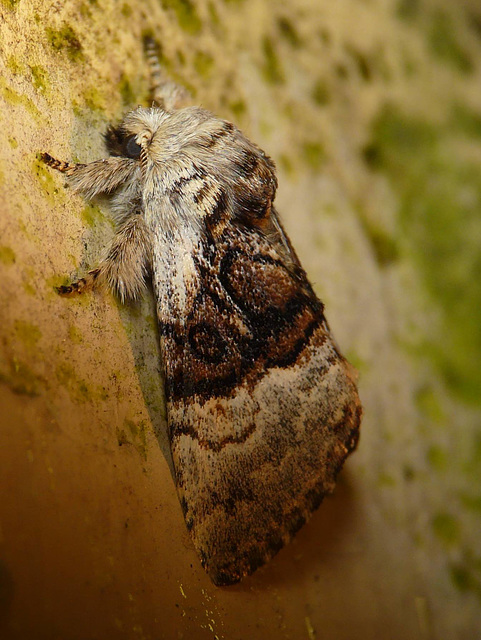 Nut-tree Tussock -Side