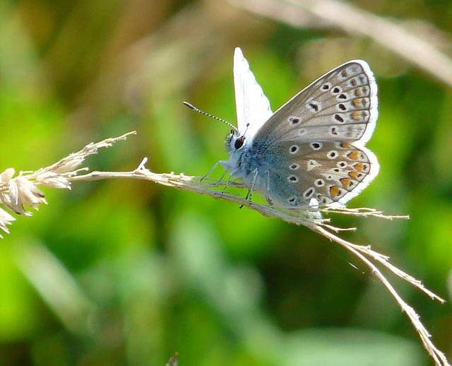 Common Blue -Male