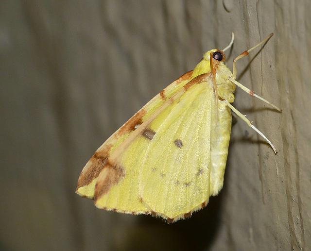 Brimstone Moth -Side