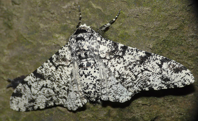Peppered Moth -Top