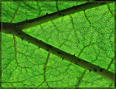 Light through the Leaf: Peace