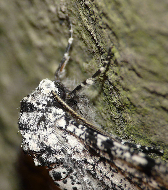 Peppered Moth -Face