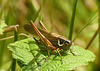 Roesel's Bush Cricket Female