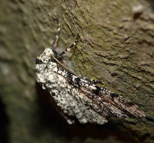 Peppered Moth -Side