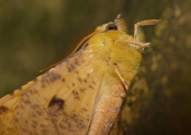 Canary-shouldered Thorn -Shoulder
