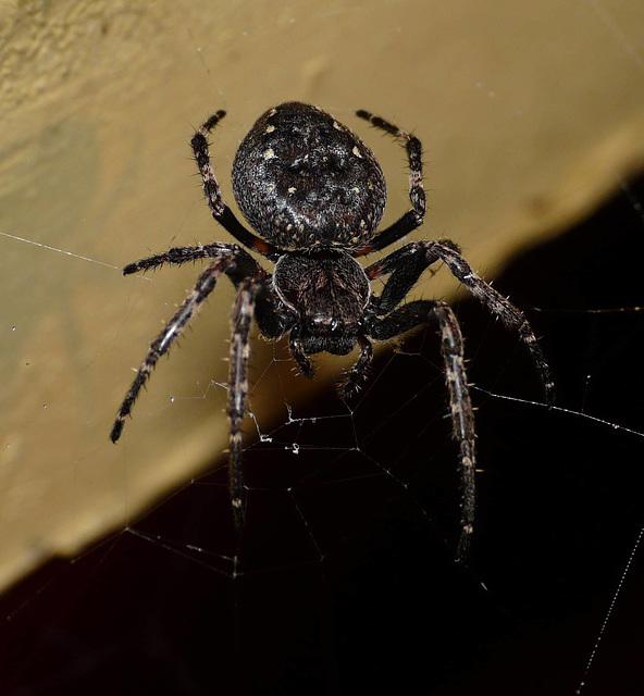 Walnut Orb Weaver Spider