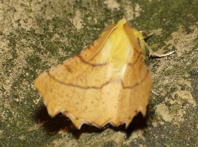 Canary-shouldered Thorn -Back