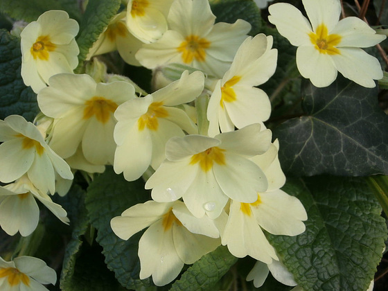 Good sized bunches of primroses