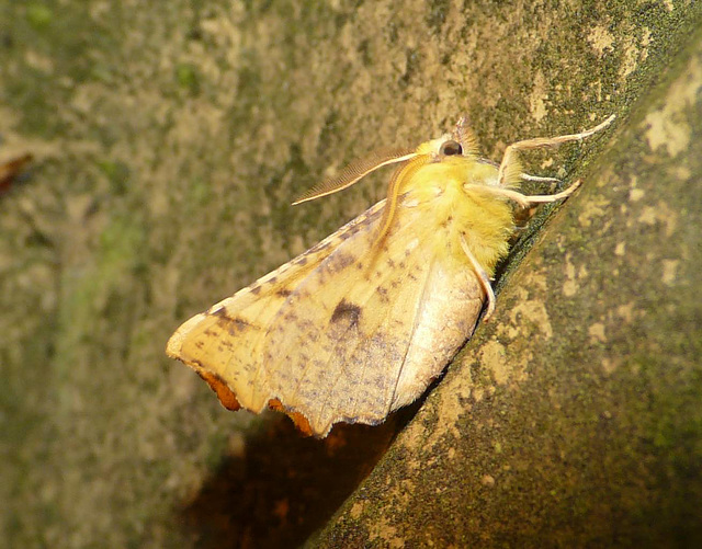 Canary-shouldered Thorn -Side
