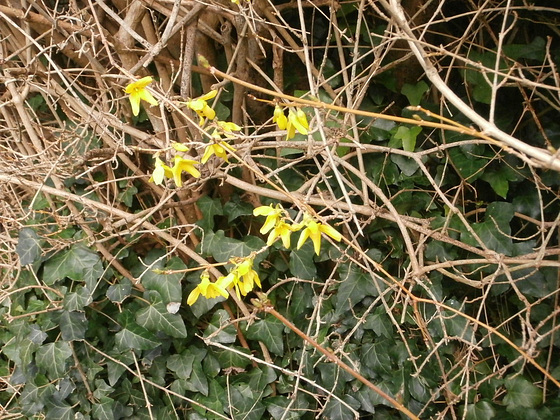 The forsythia is a lovely colour