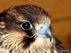 Hawk @ Aillwee Caves