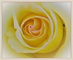 Bug In A Rose