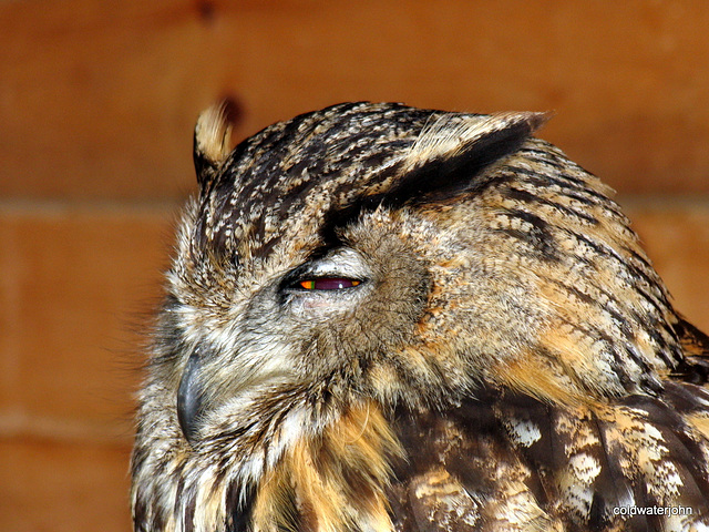 Eagle Owl: Birds of Prey @ Aillwee Caves